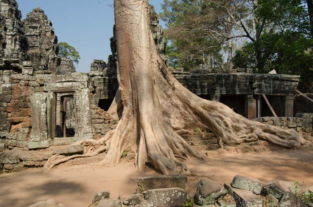 Old tree in Angkor Park